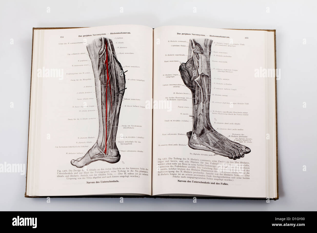 Woodcuts in a medical textbook, illustration of the nerves in a ...