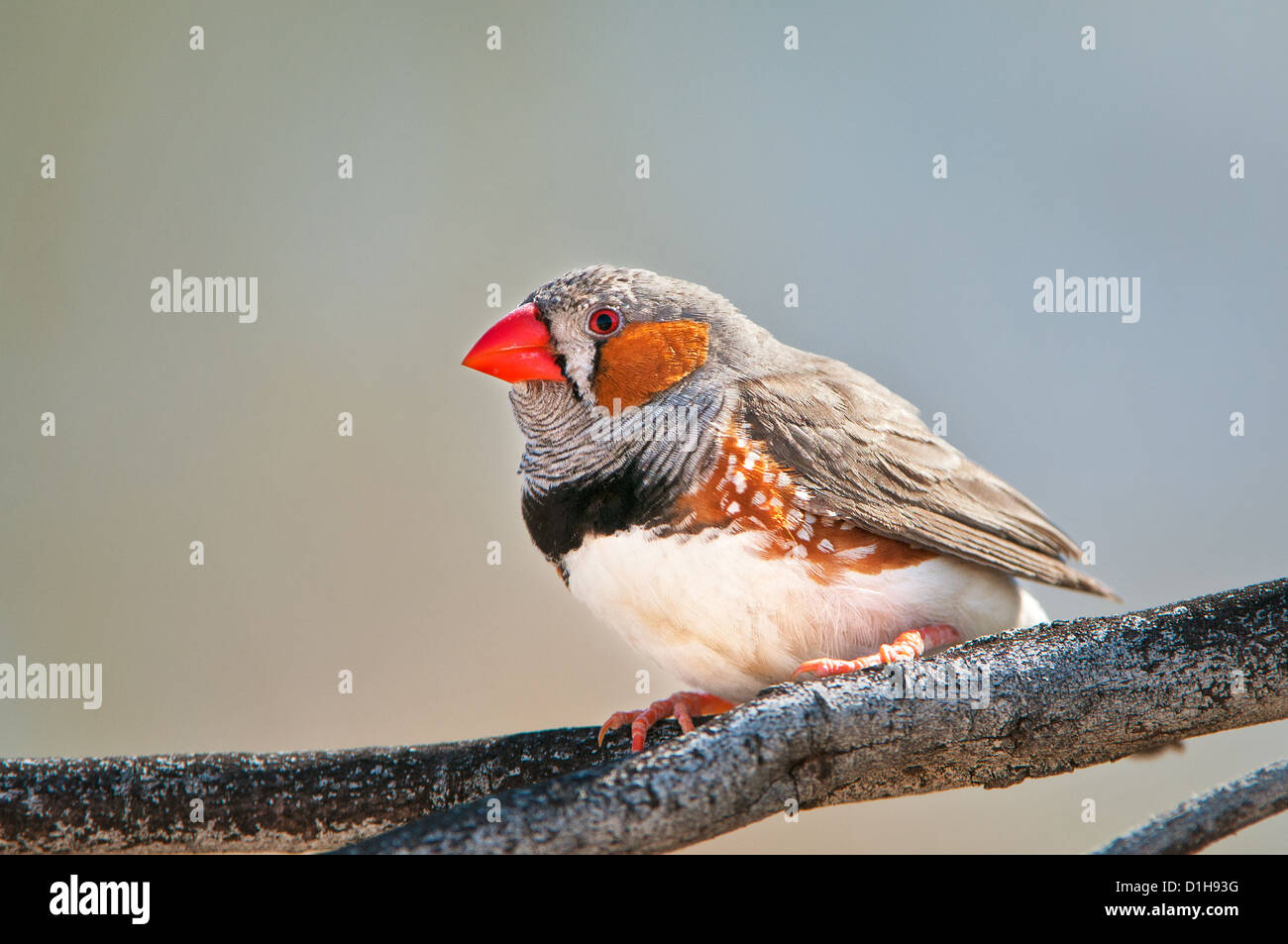 Male Zebra Finch sitting on a twig. - Stock Image