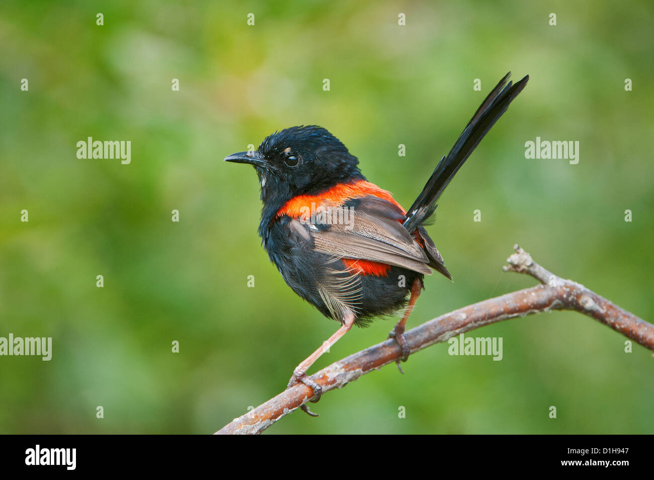 Red-backed Fairywren sitting on a twig. Stock Photo