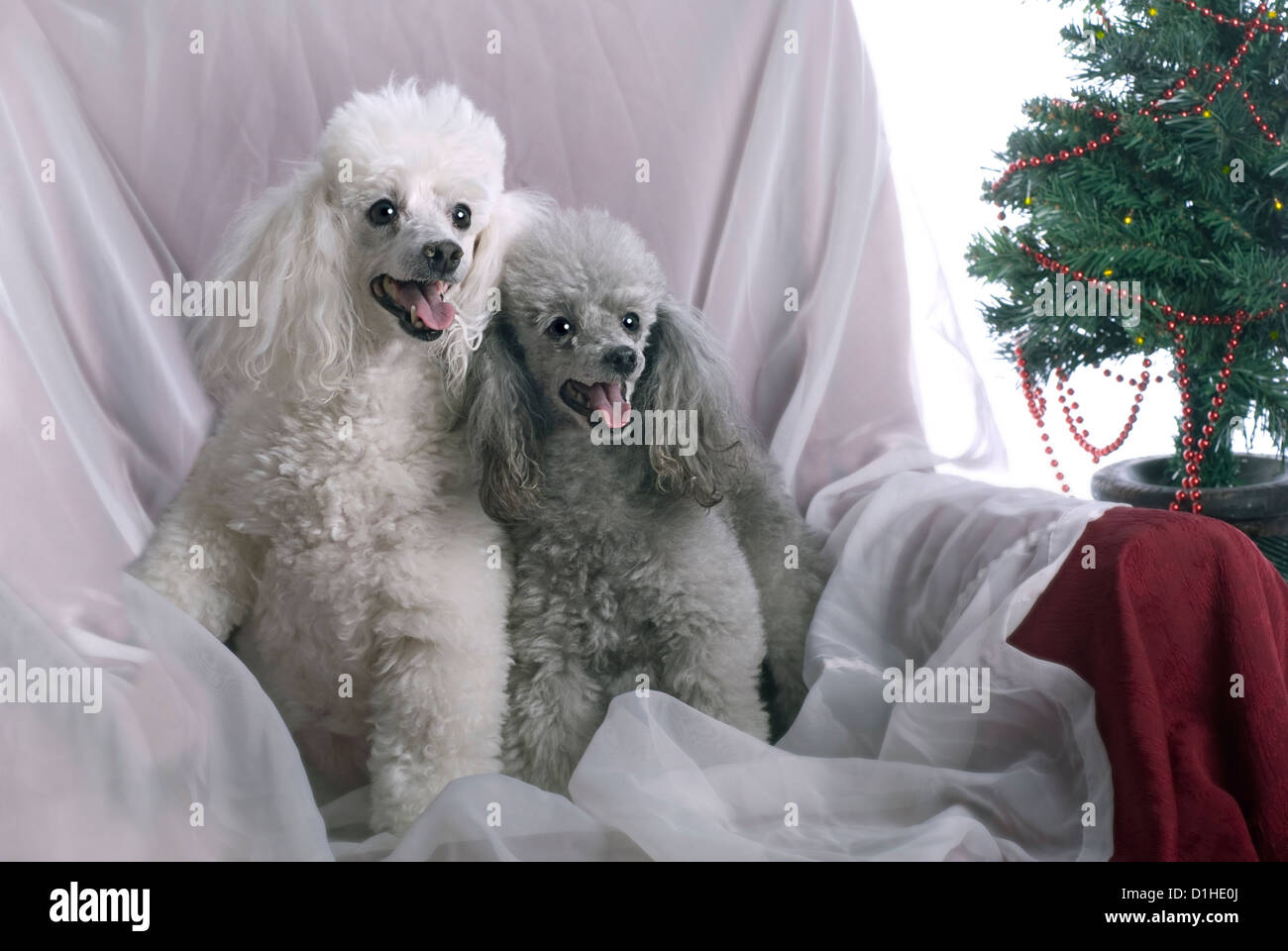 Horizontal image of a white poodle and a silver poodle in a high key studio setting with a Christmas theme. - Stock Image