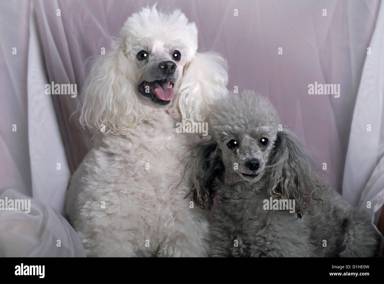 A horizontal close up portrait of a white miniature poodle and a gray toy poodle against a soft, white drape. - Stock Image