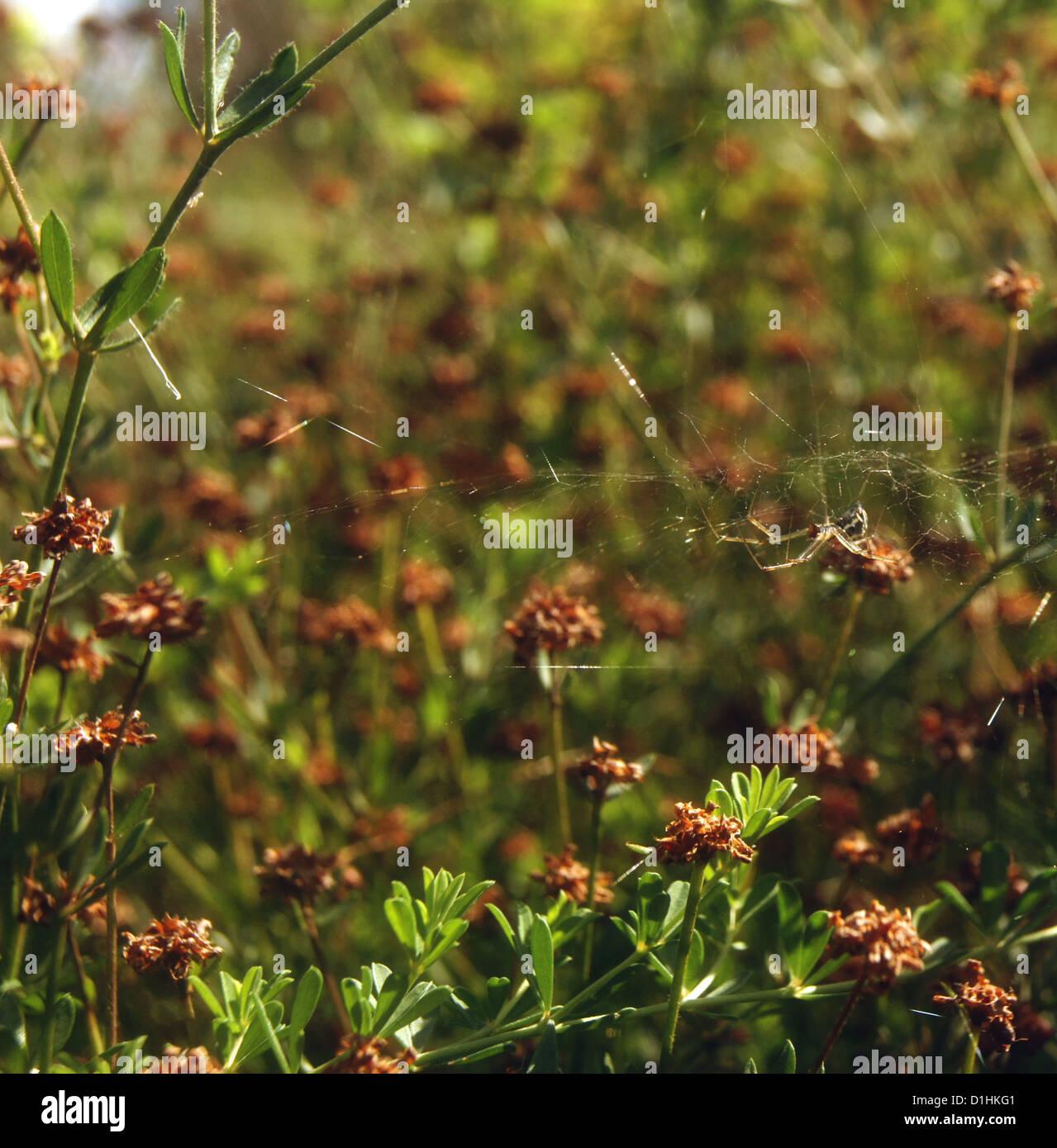 Spider hangs between flowers - Stock Image