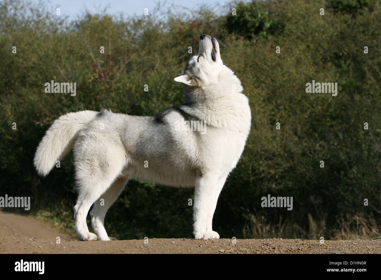Dog Siberian Husky Adult Howling Wolves Stock Photo 52635431 Alamy