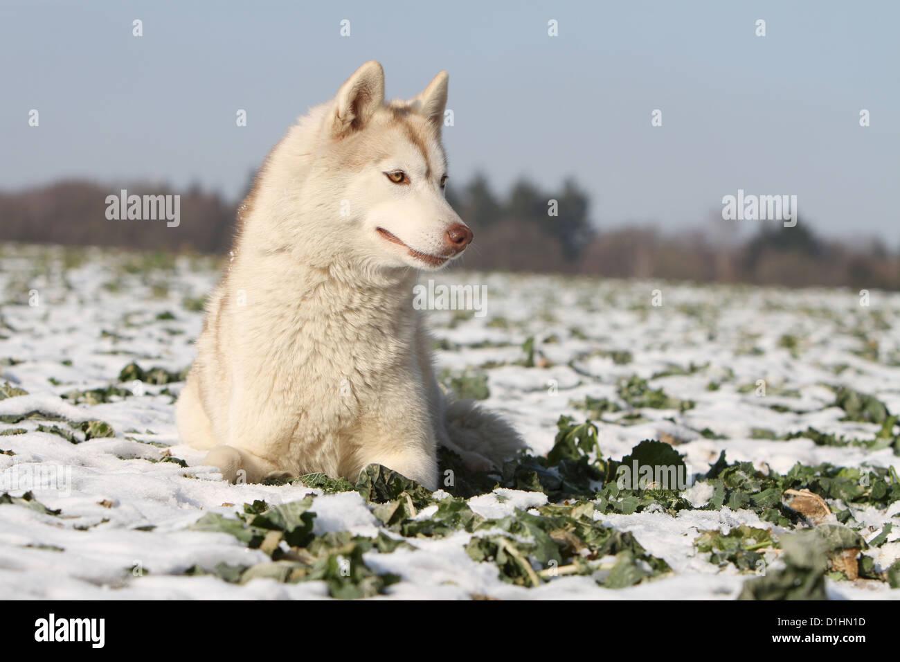 Dog Siberian Husky Adult Brown And White Lying Down On Snow Stock