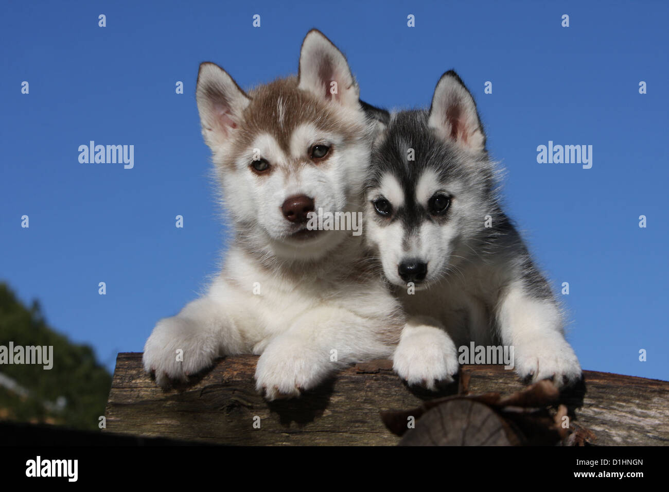Dog Siberian Husky Two Puppies Black And White White And Brown On Stock Photo Alamy