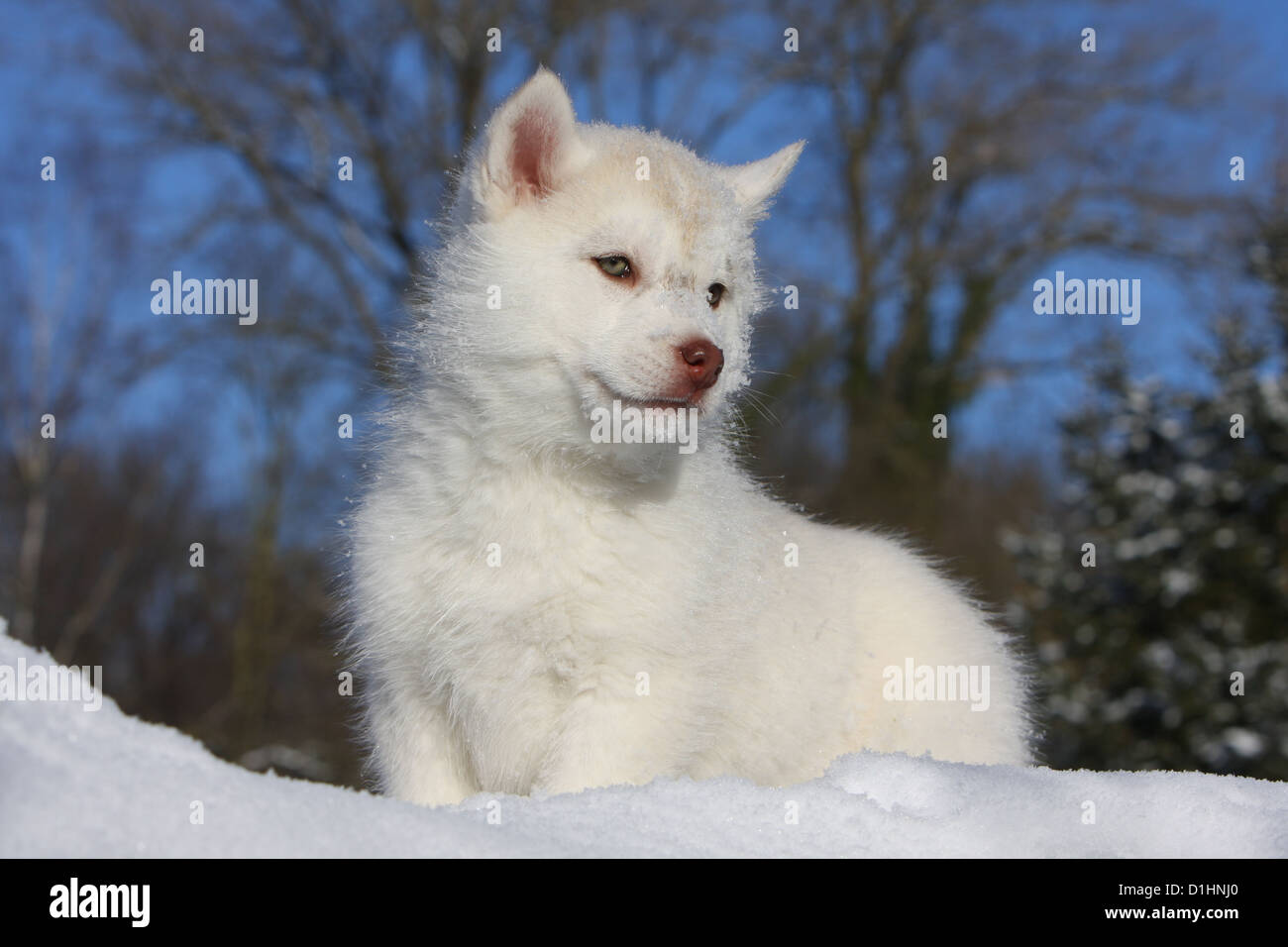 Dog Siberian Husky White Puppy Standing In Snow Stock Photo