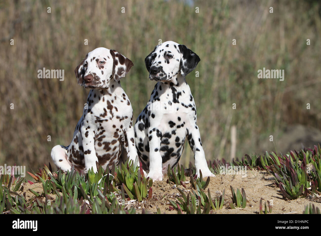 Dog Dalmatian / Dalmatiner / Dalmatien two puppies different colors sitting on the sand - Stock Image