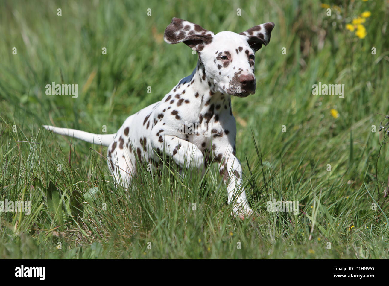 Dog Dalmatian / Dalmatiner / Dalmatien puppy running in a meadow - Stock Image