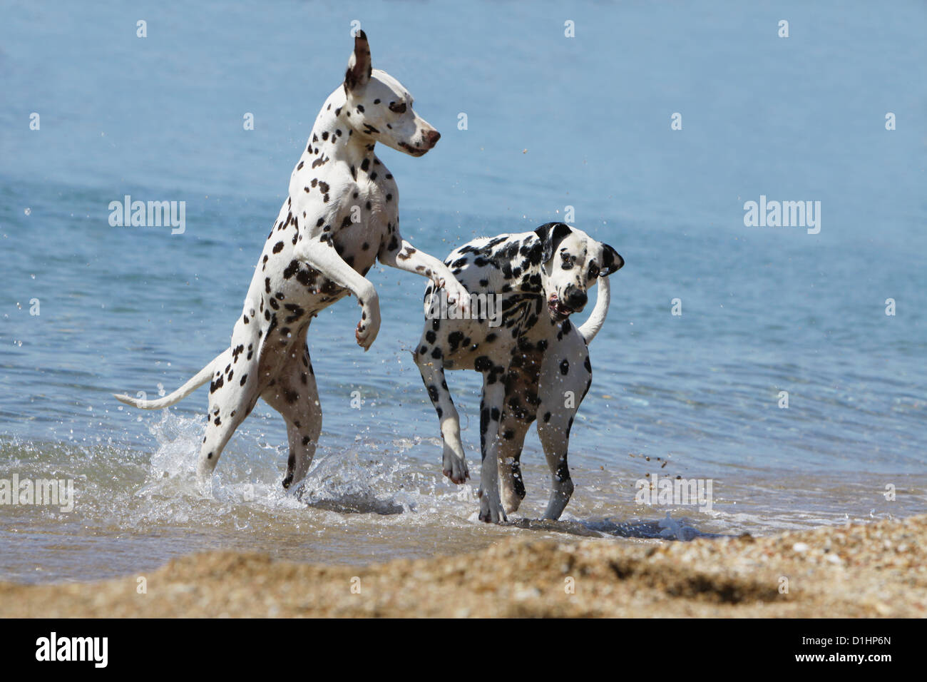 Dog Dalmatian / Dalmatiner / Dalmatien two adults playing in the sea Stock Photo