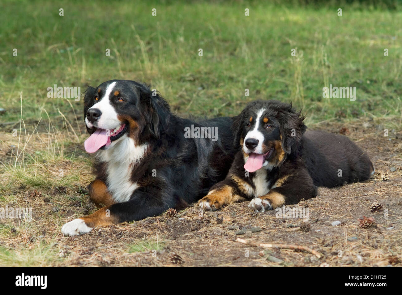 Bernese Mountain dogs - Stock Image