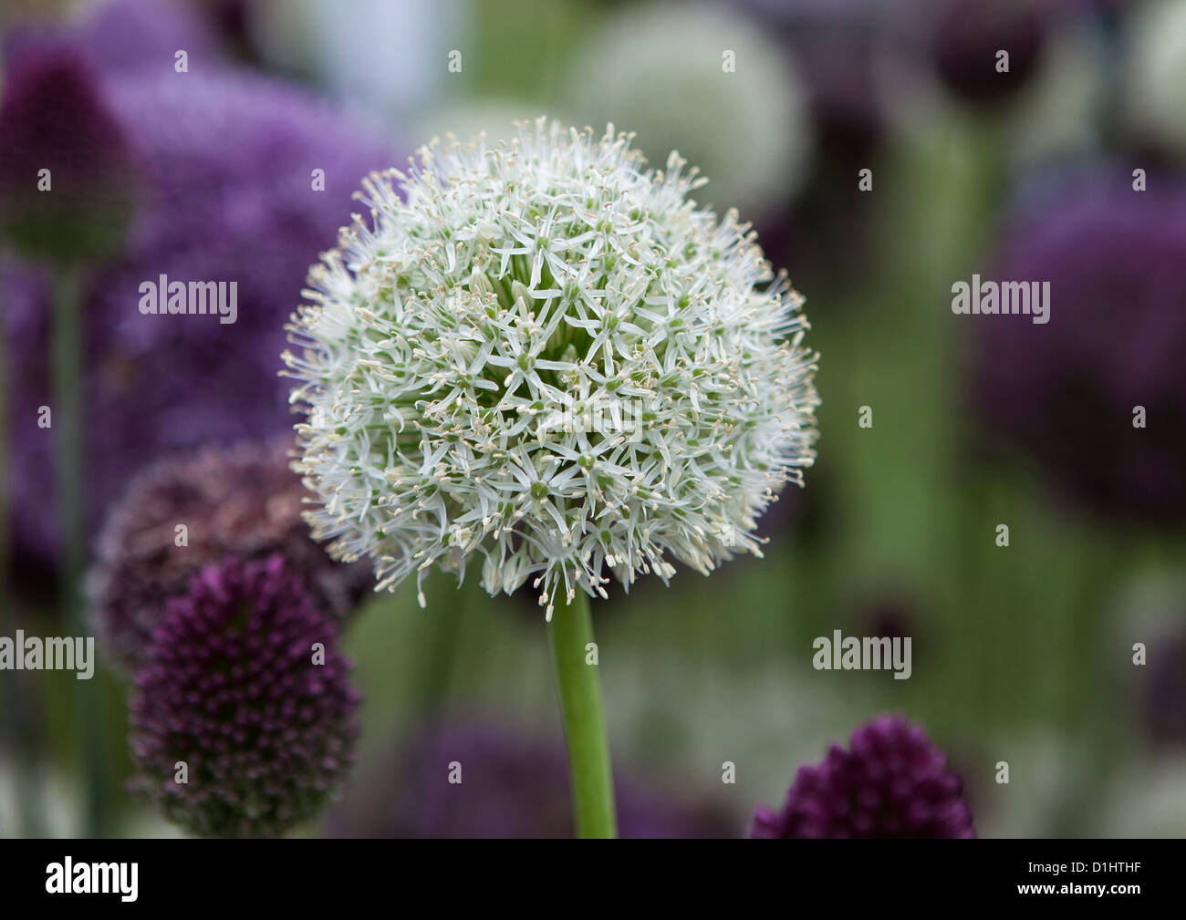 Giant white allium with a background of purple alliums -  Hampton Court Palace, Flower Show - Stock Image