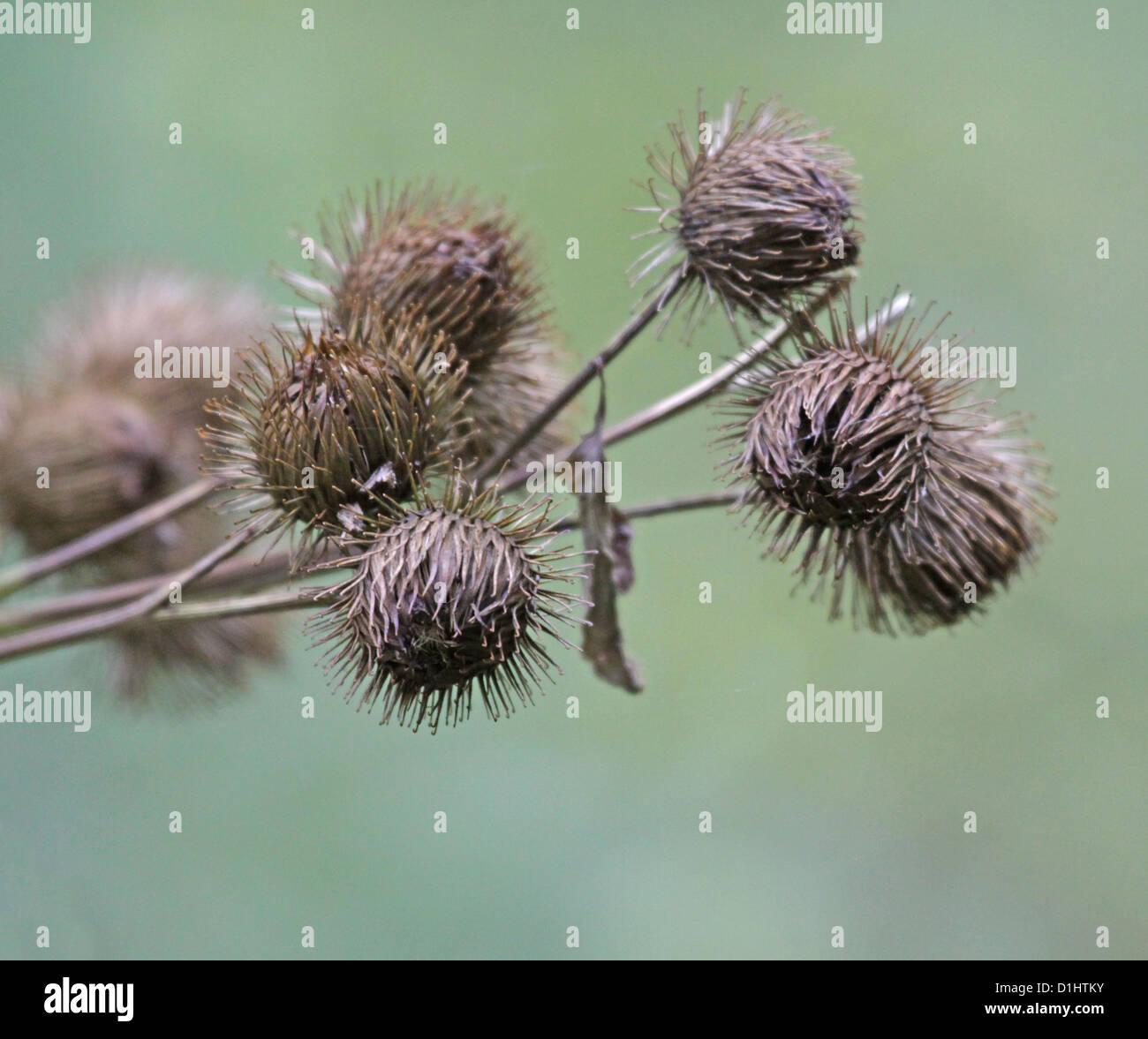Bur Buds - Stock Image