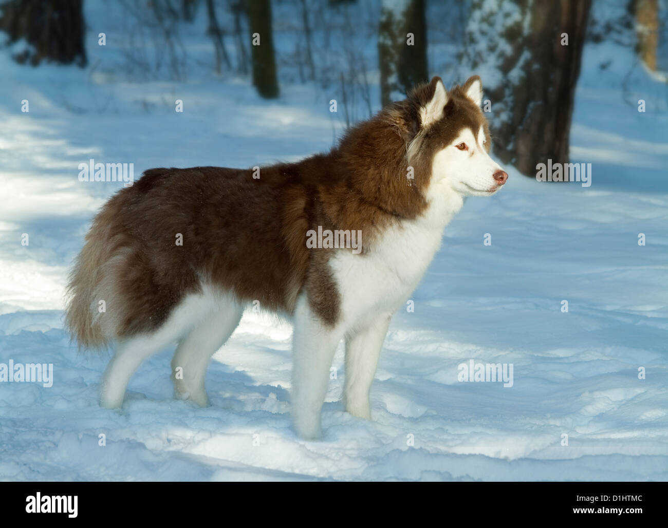 Siberian Husky dog in the forest - Stock Image