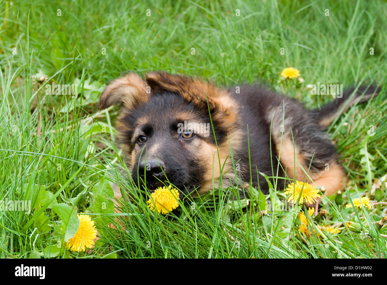 Young Alsatian dog in the grass - Stock Image