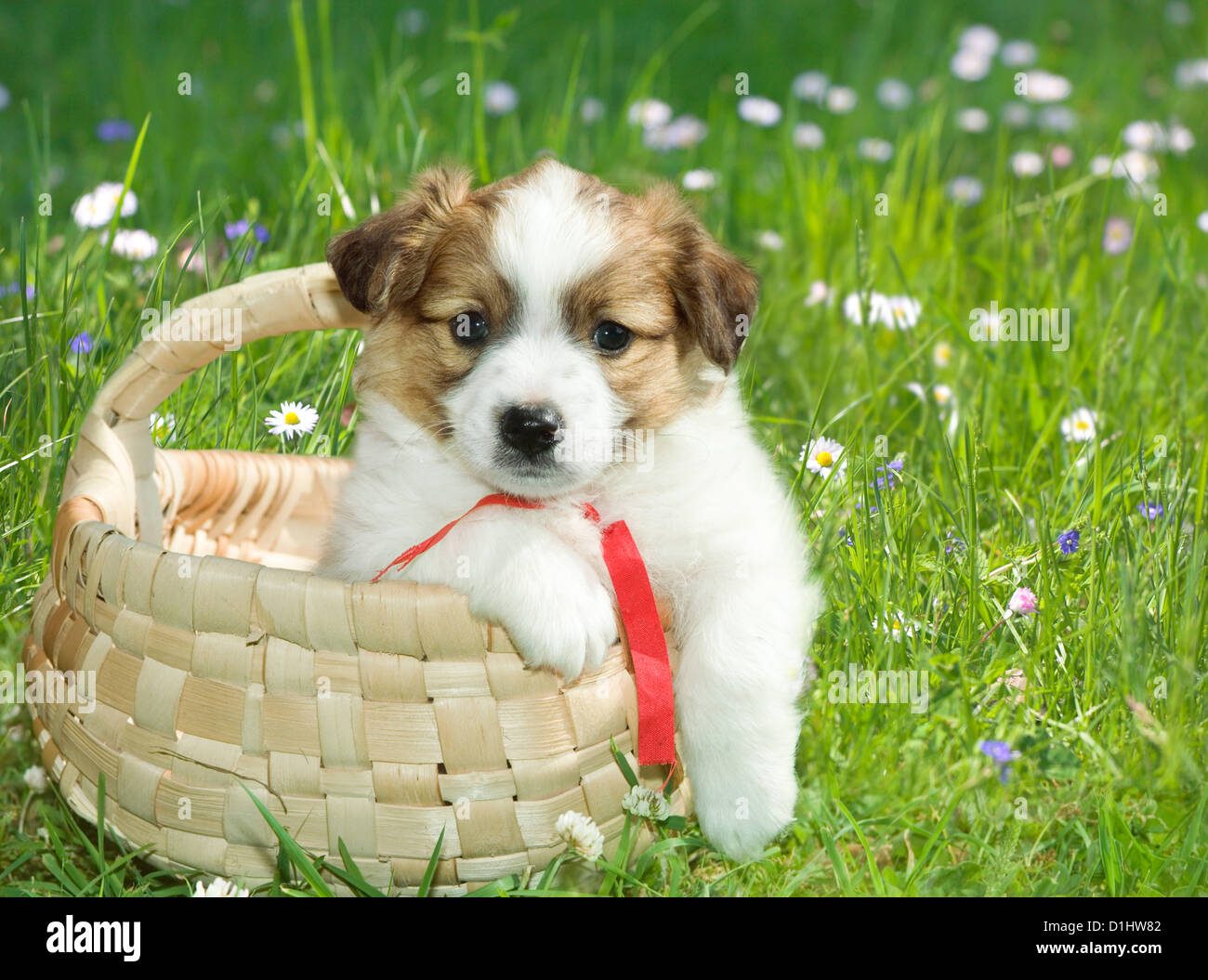 Outdoor portrait of cute young puppy in the basket - Stock Image