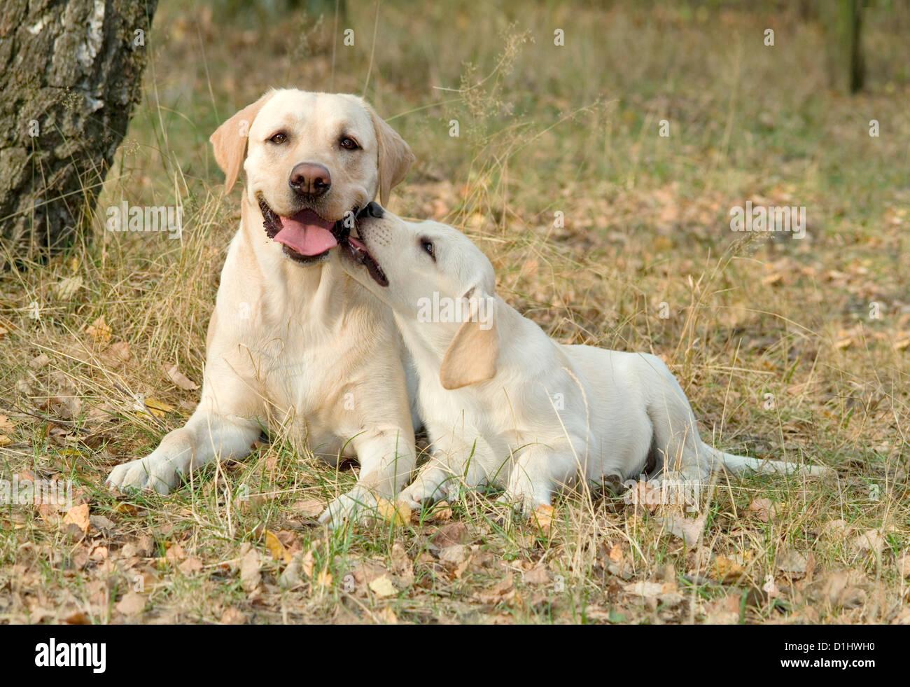 Labrador Retriever dogs - Stock Image
