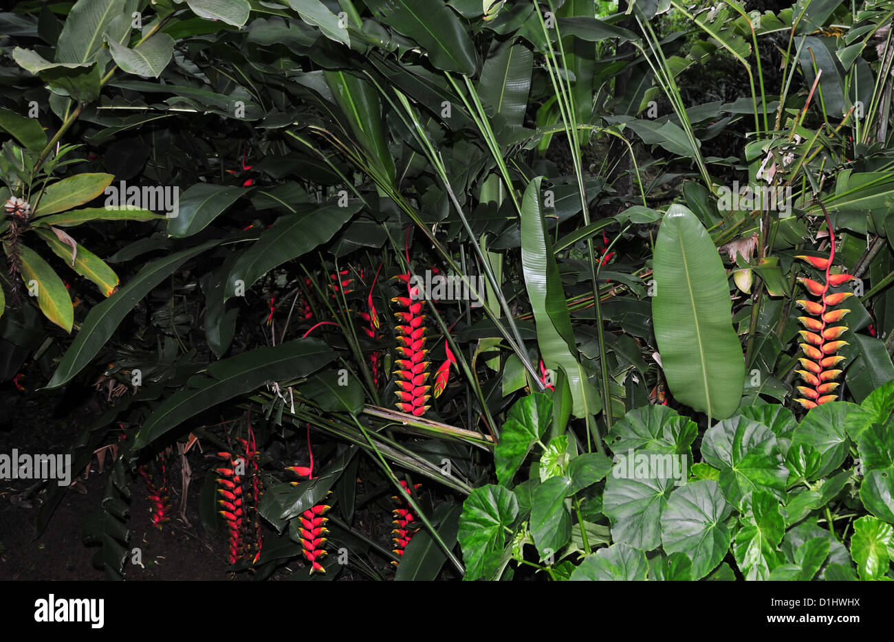 Several bright red flowers Heliconia pendula in a green thicket of rain forest leaves, Grand Etang Forest, Grenada, - Stock Image