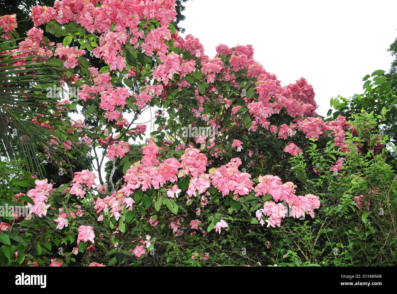 Shrub with large pink flowers standing in a green thicket by the shrub with large pink flowers standing in a green thicket by the path to the annandale waterfall grenada west indies mightylinksfo