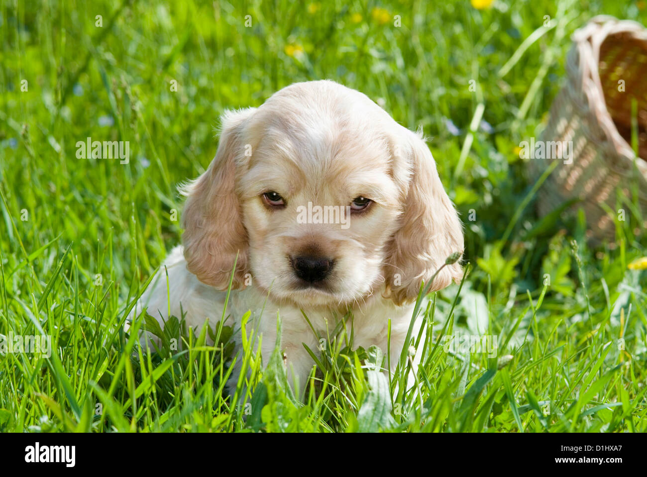 Young English Cocker Spaniel dog puppy in the gras - Stock Image