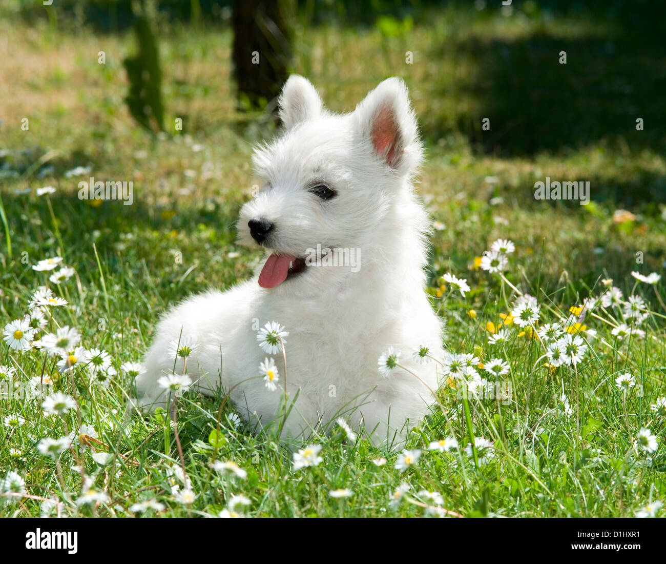 Outdoor portrait of West Highland White Terrier dog in the garden - Stock Image