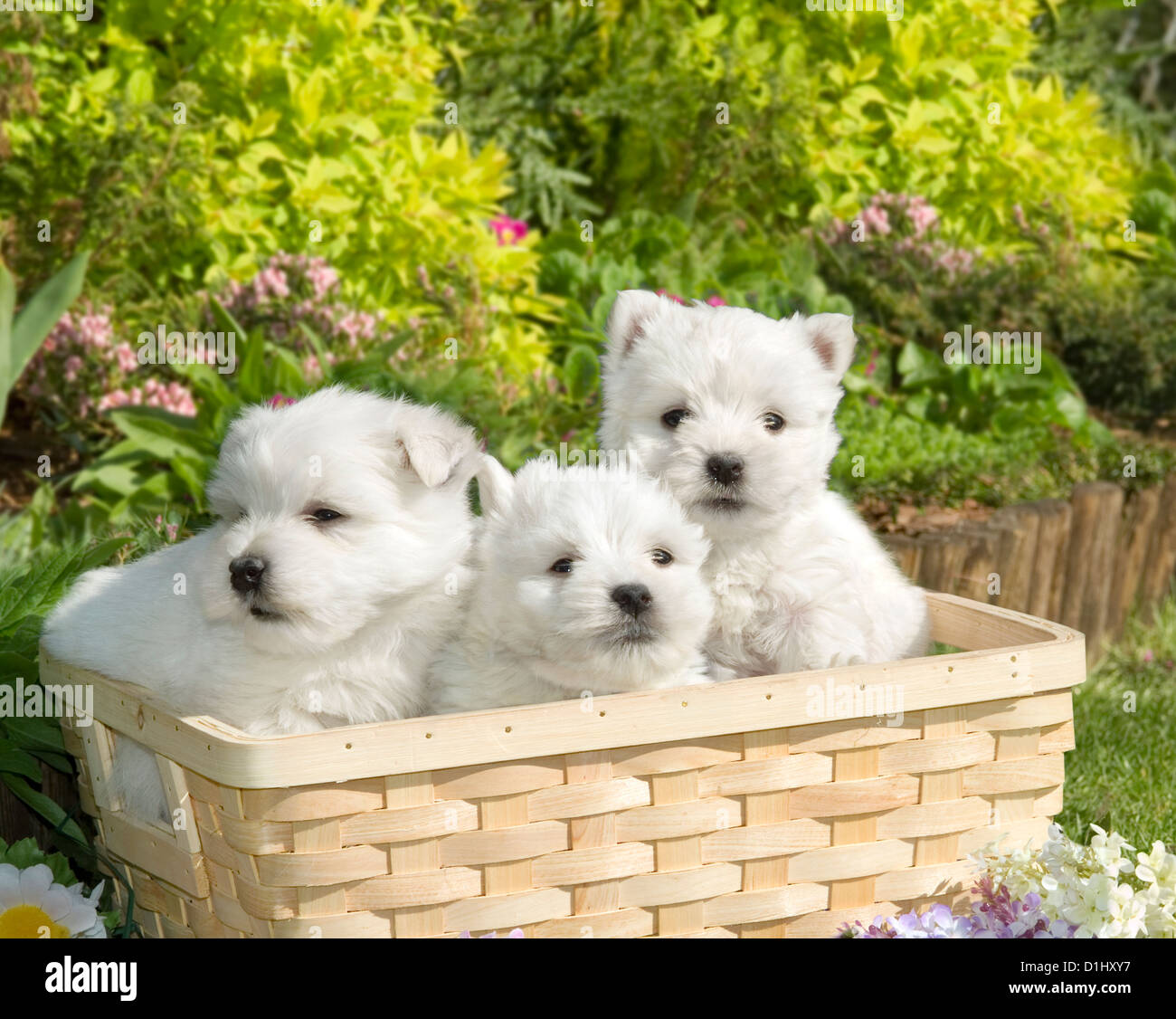Three West Highland White Terrier dogs in the garden - Stock Image