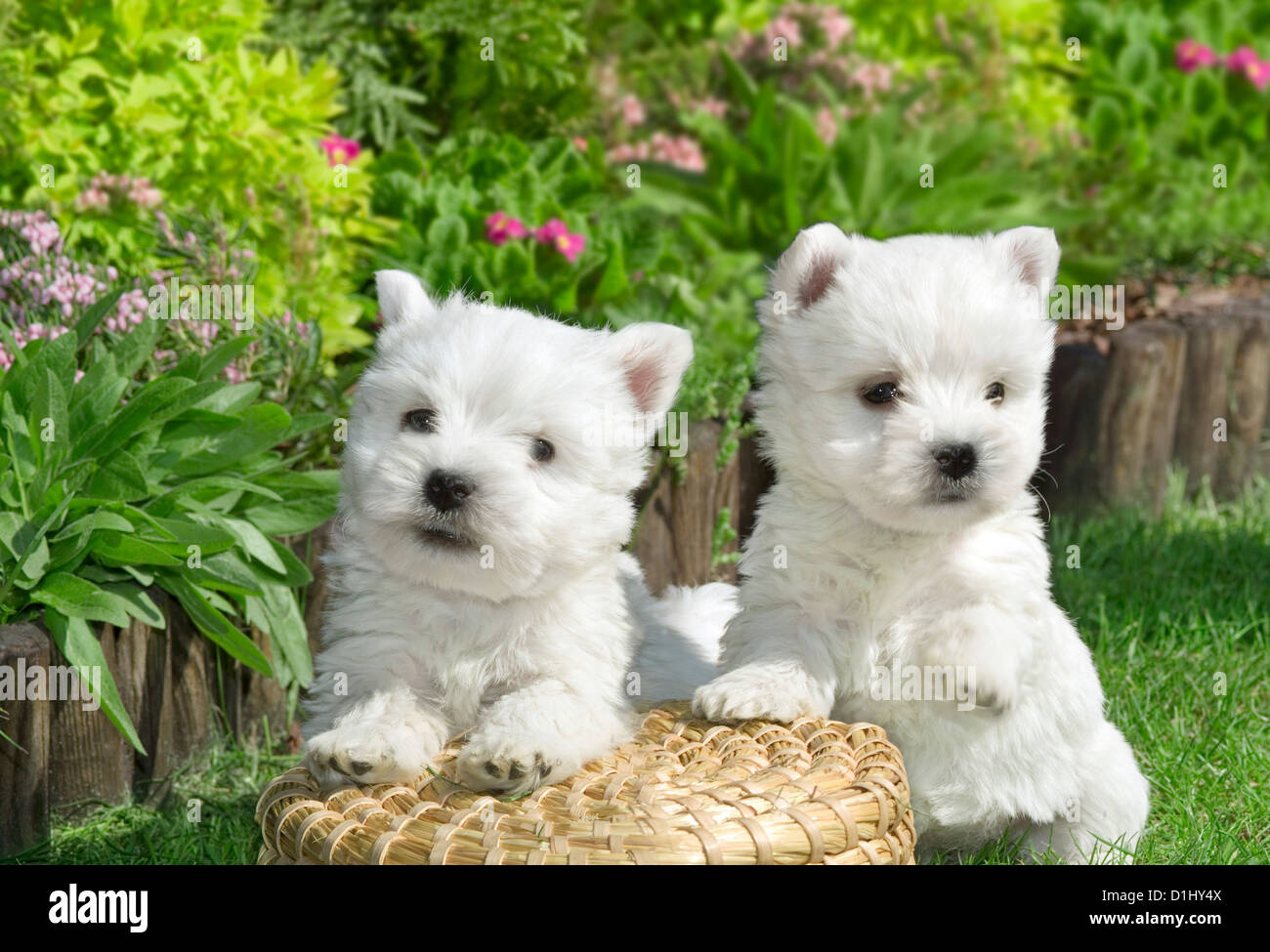 Outdoor portrait of West Highland White Terrier dogs in the garden - Stock Image