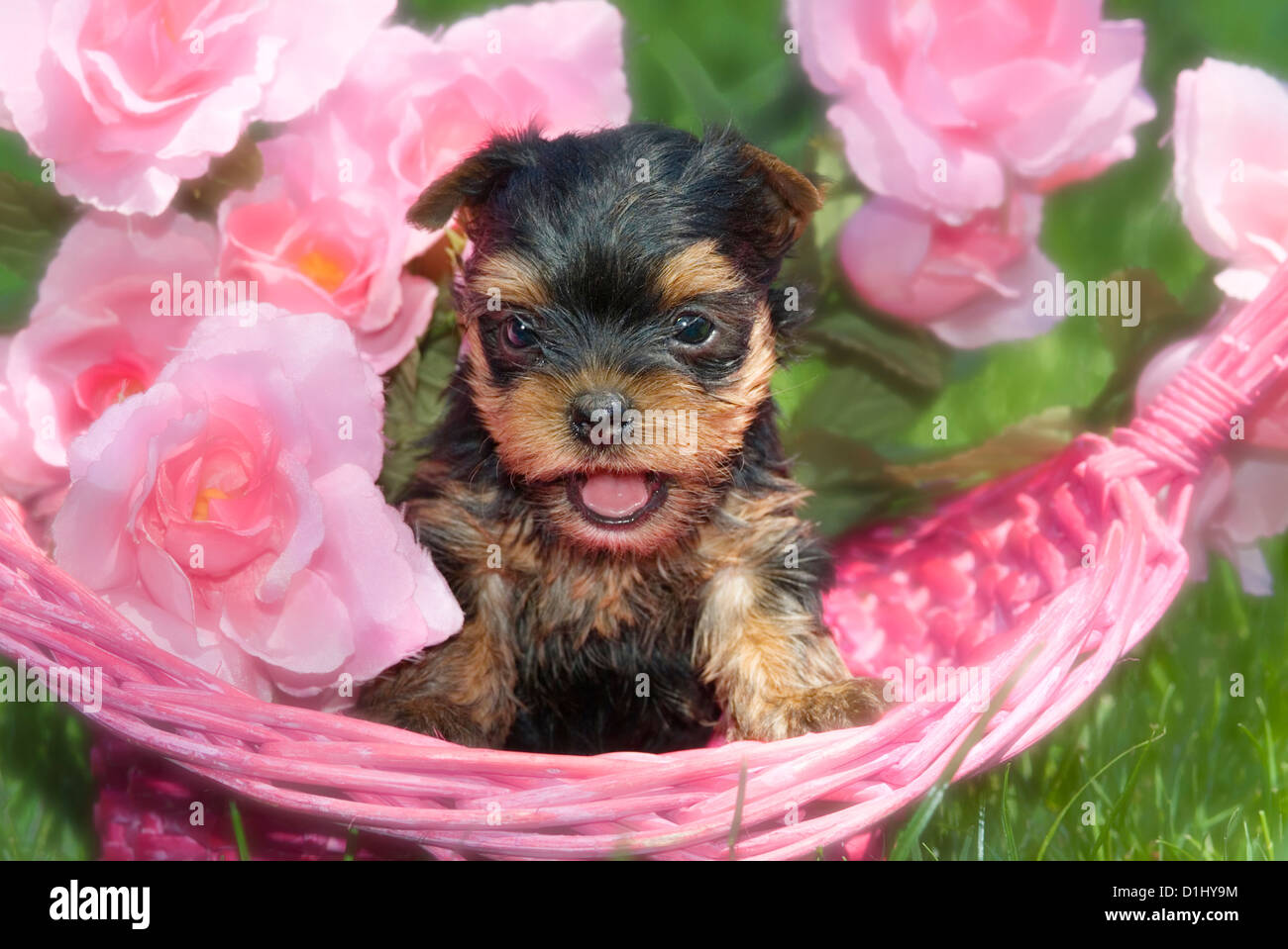 Small Yorkshire Terrier - Stock Image