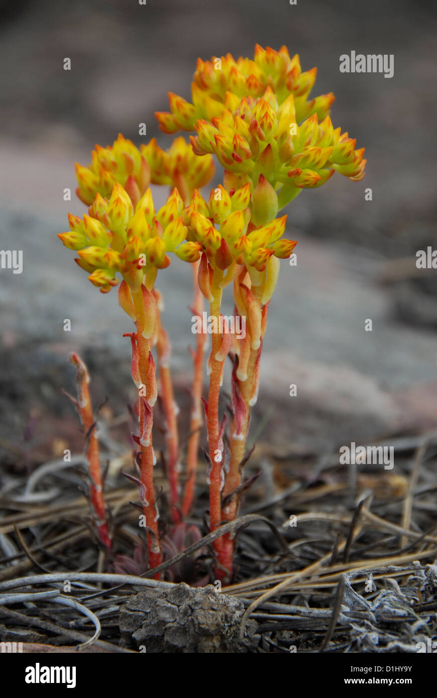 Saprophytic plant in the Uinta Mountains of Utah. - Stock Image