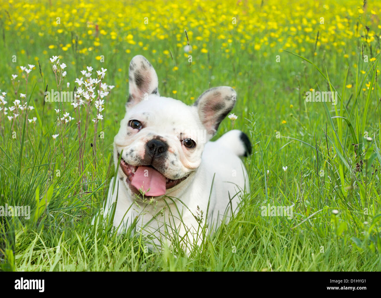 Portrait of young French Bulldog - Stock Image