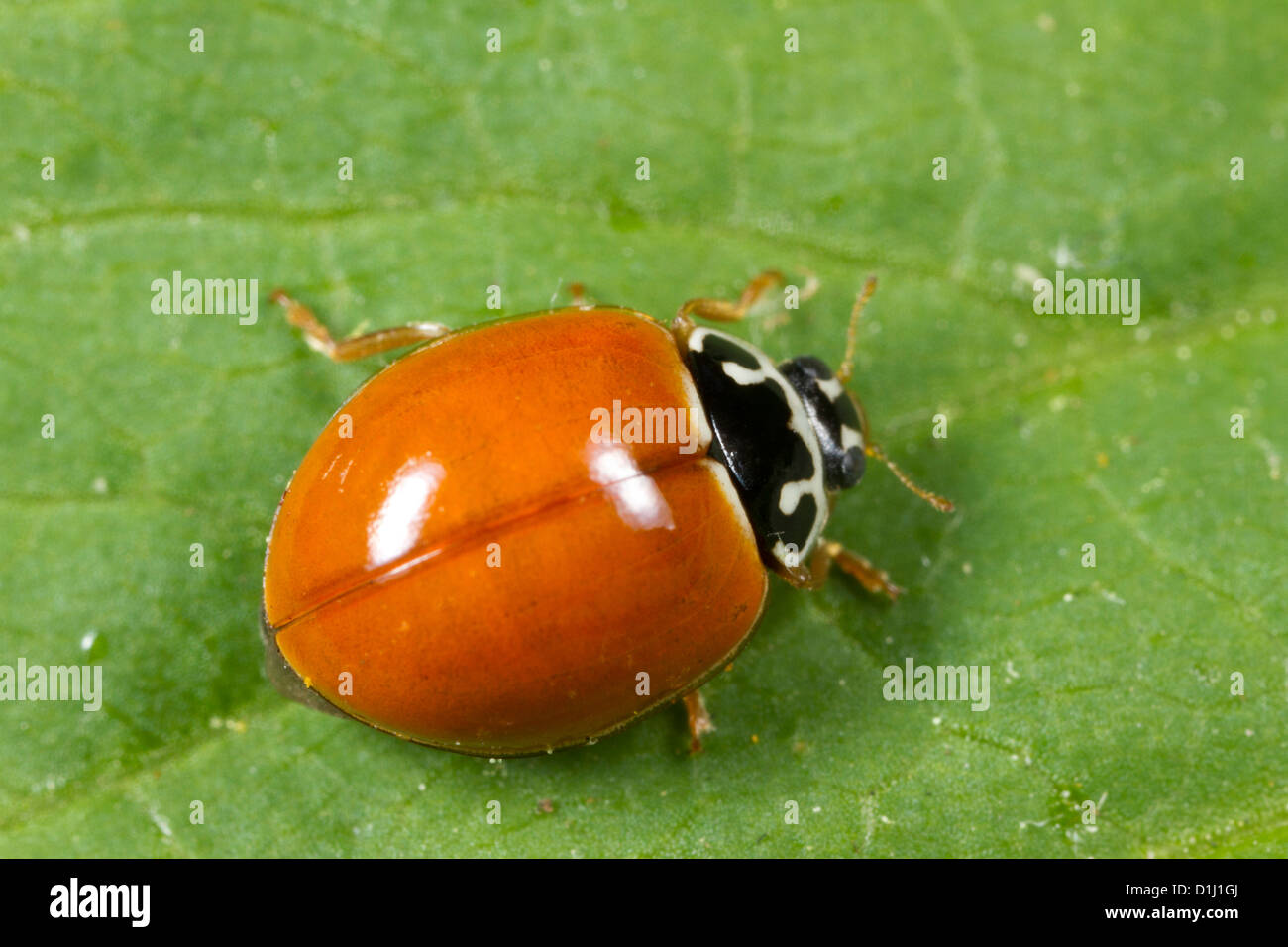 Spotless Lady Beetle (Cycloneda munda) Stock Photo