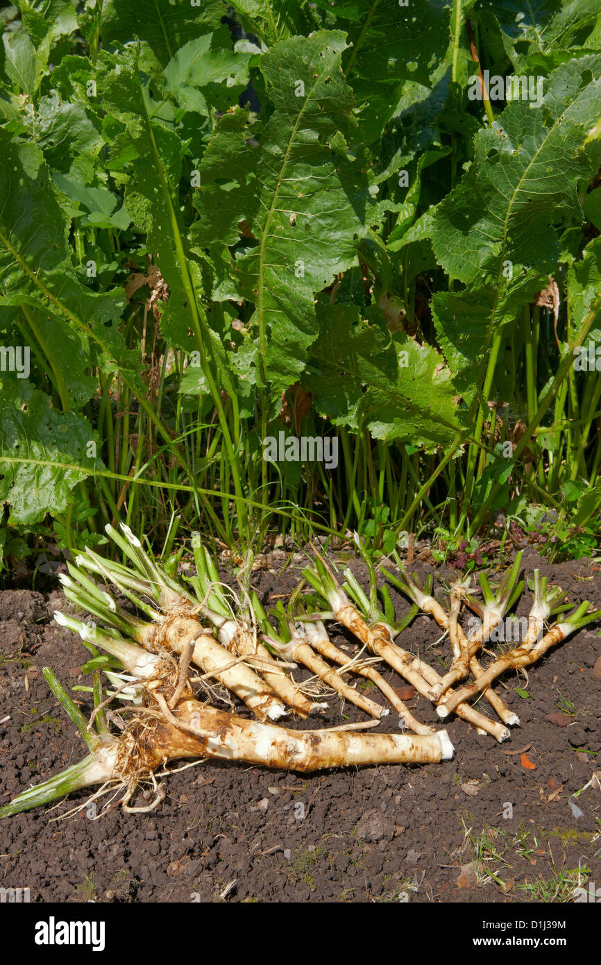 Harvested organically grown Horseradish, root vegetable used as a spice. Scientific name: Armoracia rusticana,  - Stock Image