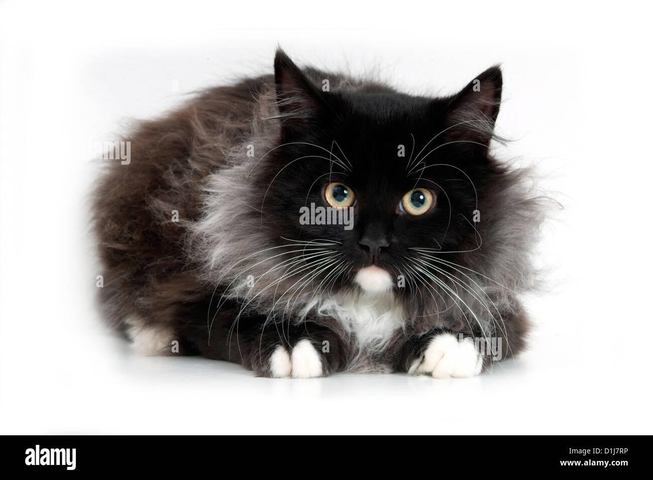 Siberian cat - Stock Image