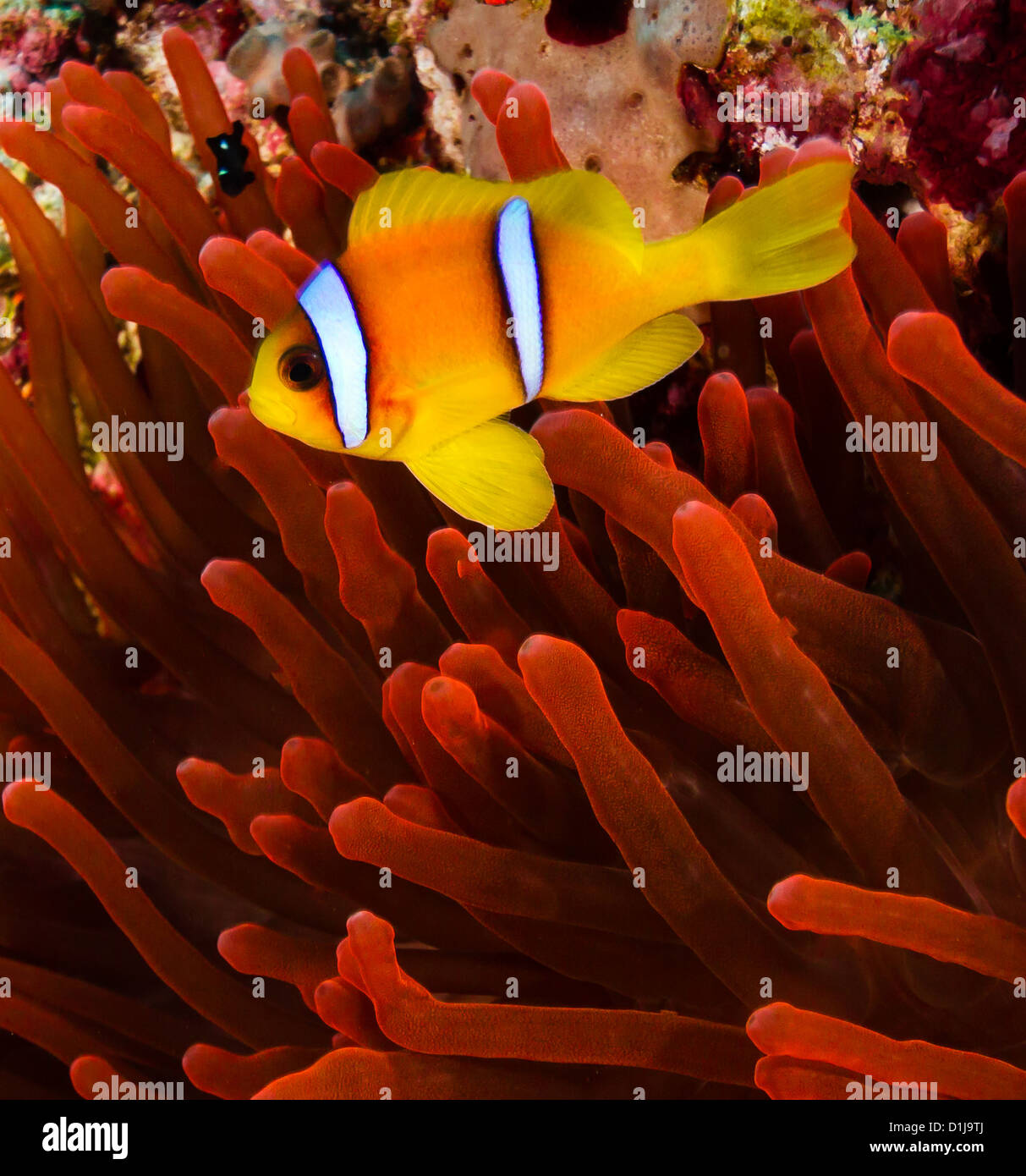 Red sea Clownfish (Anemonefish) next to a vivid red anemone on a coral reef Stock Photo