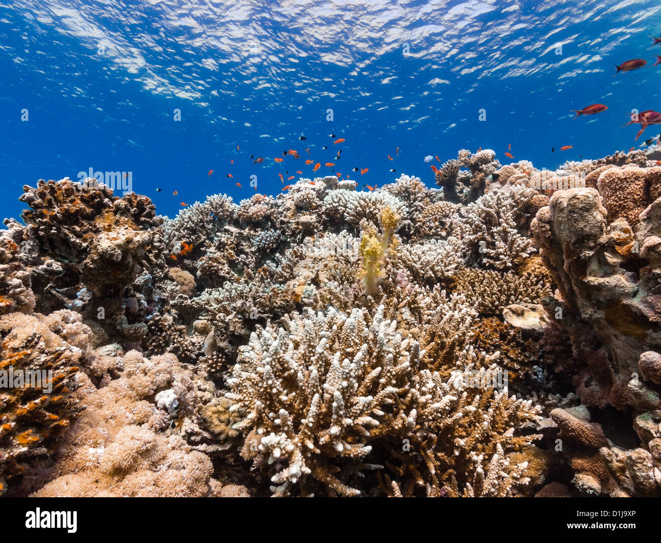 Hard corals and tropical fish on a coral reef - Stock Image