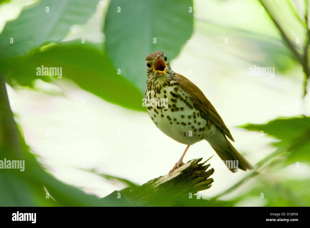 Wood Thrush singing - Stock Image