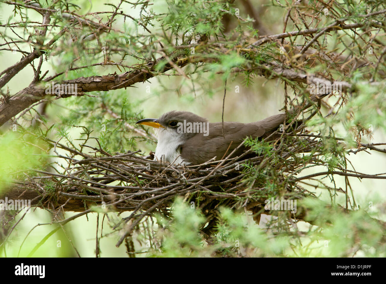 Yellow-billed Cuckoo on nest Stock Photo