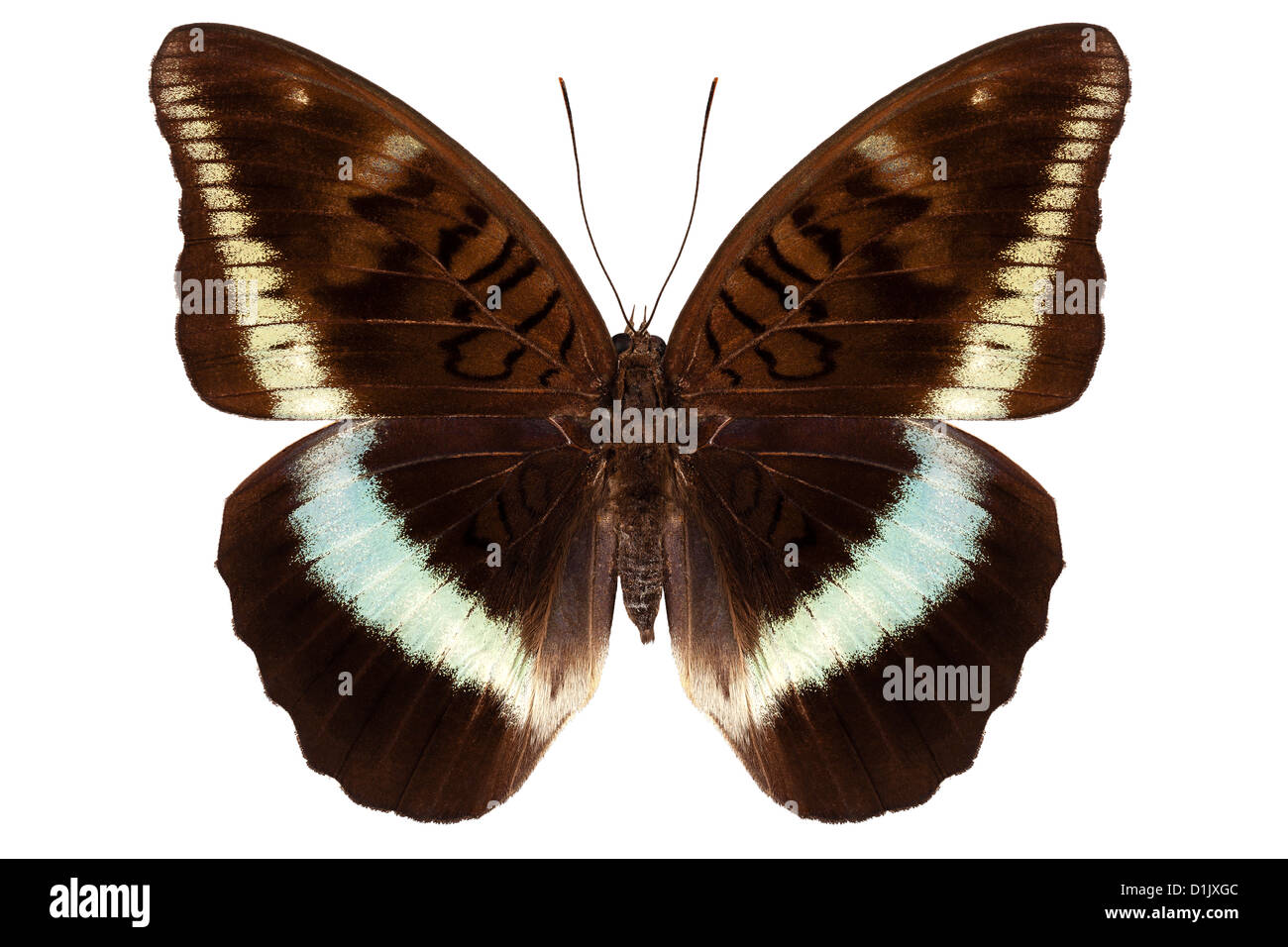 brown Nymphalidae butterfly - Stock Image