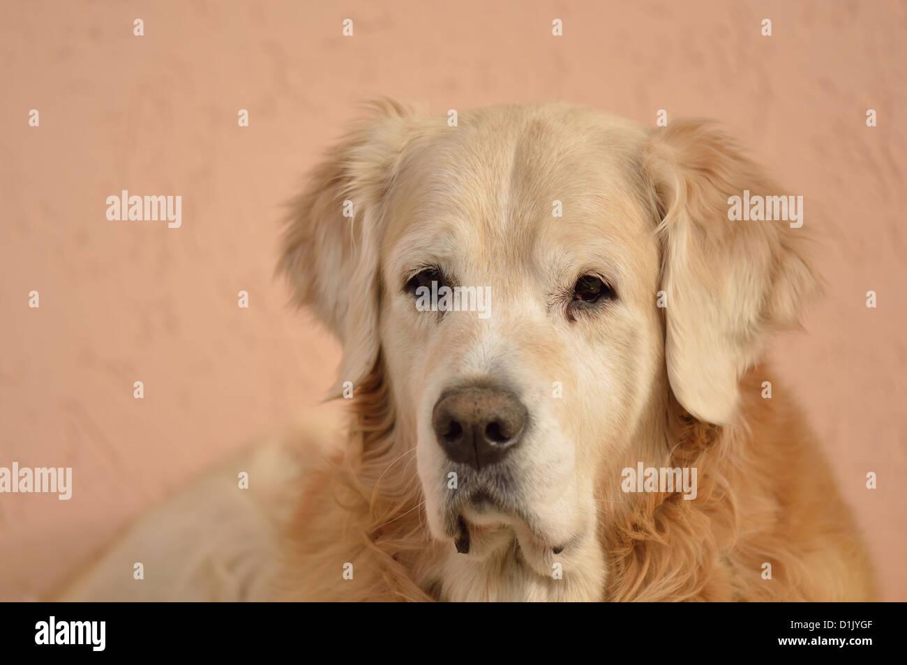 Portrait of Purebred Dog. Golden Retriever. Stock Photo - Stock Image