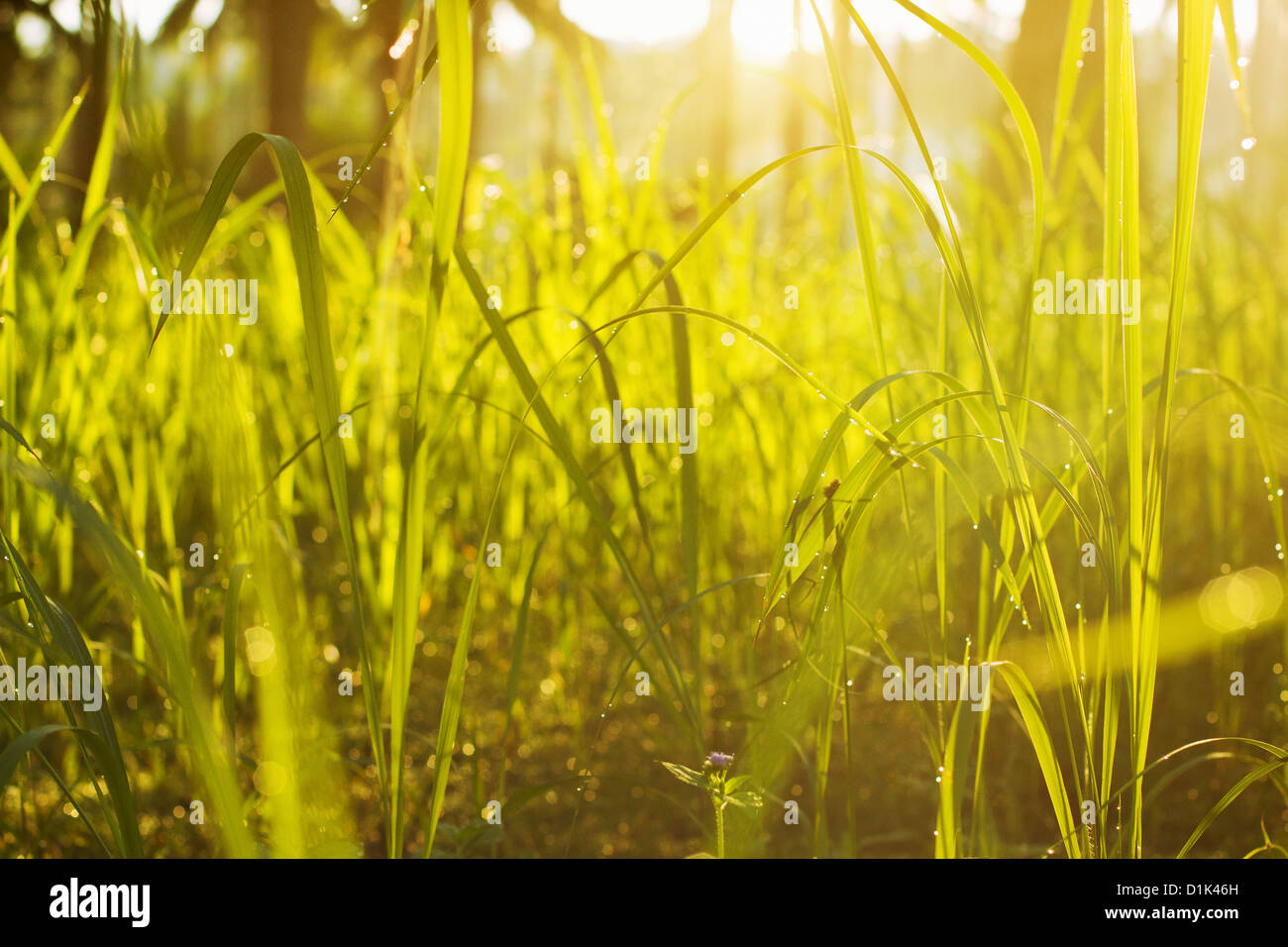 green grass in the morning light - Stock Image