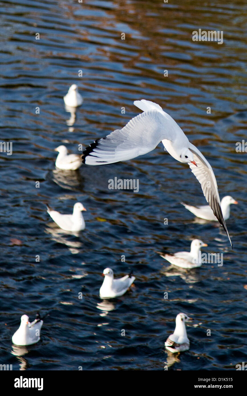 Black-headed gull in winter plumage in flight at Victoria Park, Tower Hamlets, London, England, UK. - Stock Image