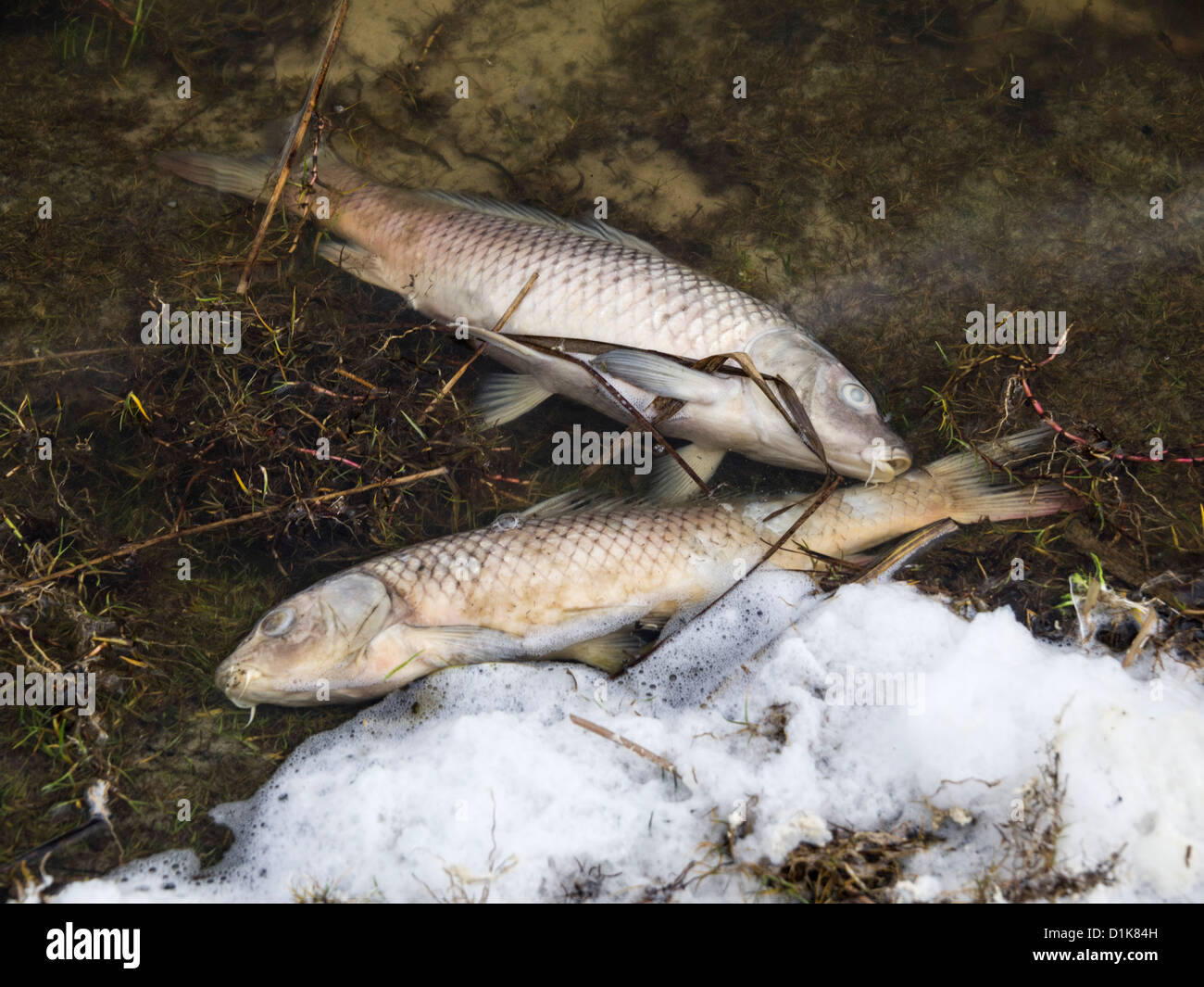 Dead fish as result of water pollution - Stock Image
