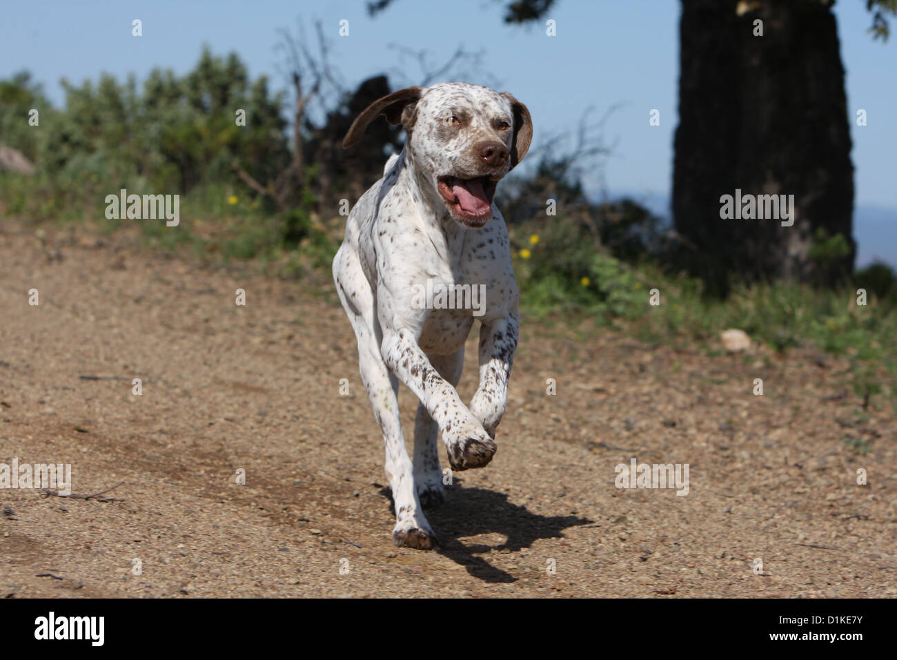 Dog Braque du Bourbonnais / Bourbonnais Pointing Dog  adult running Stock Photo