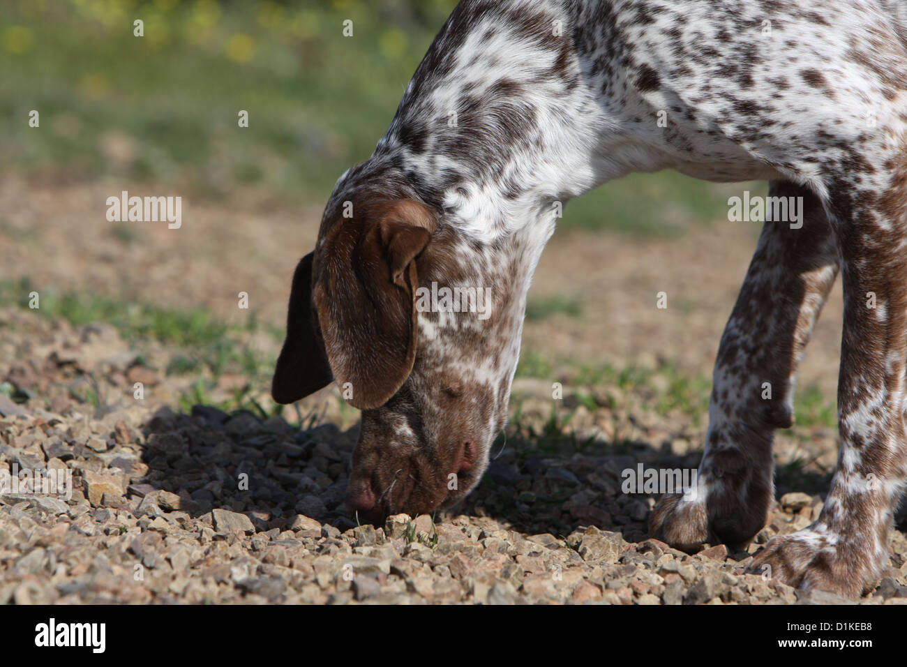 Dog Braque du Bourbonnais / Bourbonnais Pointing Dog  adult smell an odor - Stock Image