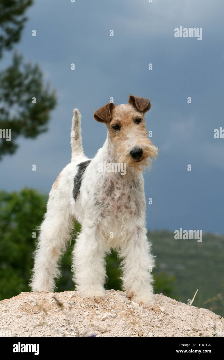 Dog Wire Fox Terrier adult standing Stock Photo: 52675075 - Alamy