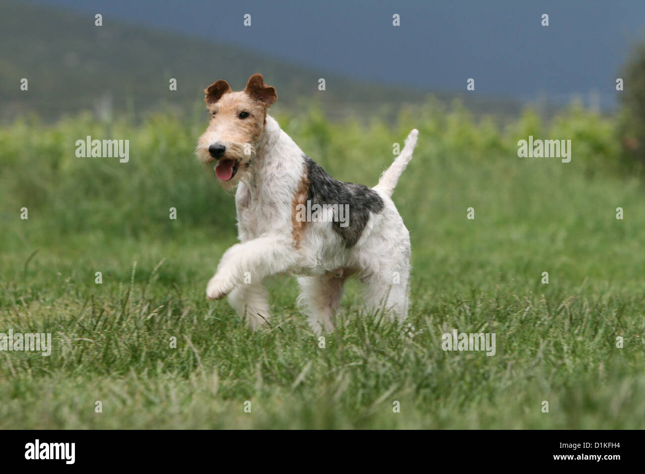 An interesting breed is a fox terrier