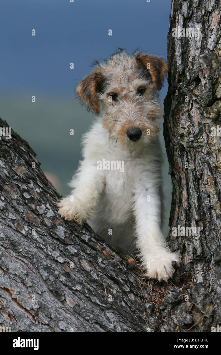 Fox Terrier Puppy Stock Photos & Fox Terrier Puppy Stock Images - Alamy