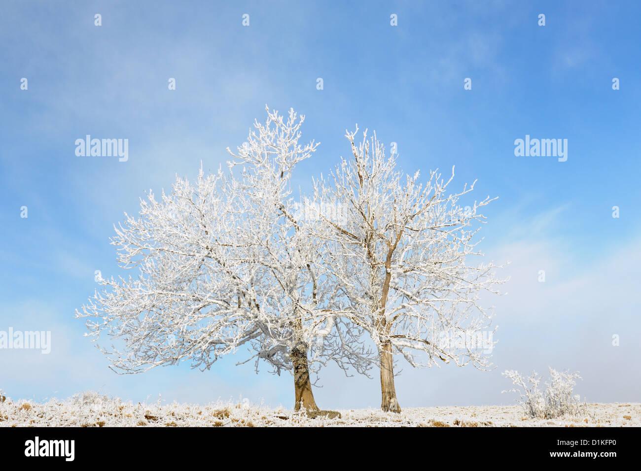 Two frozen trees in winter landscape. - Stock Image