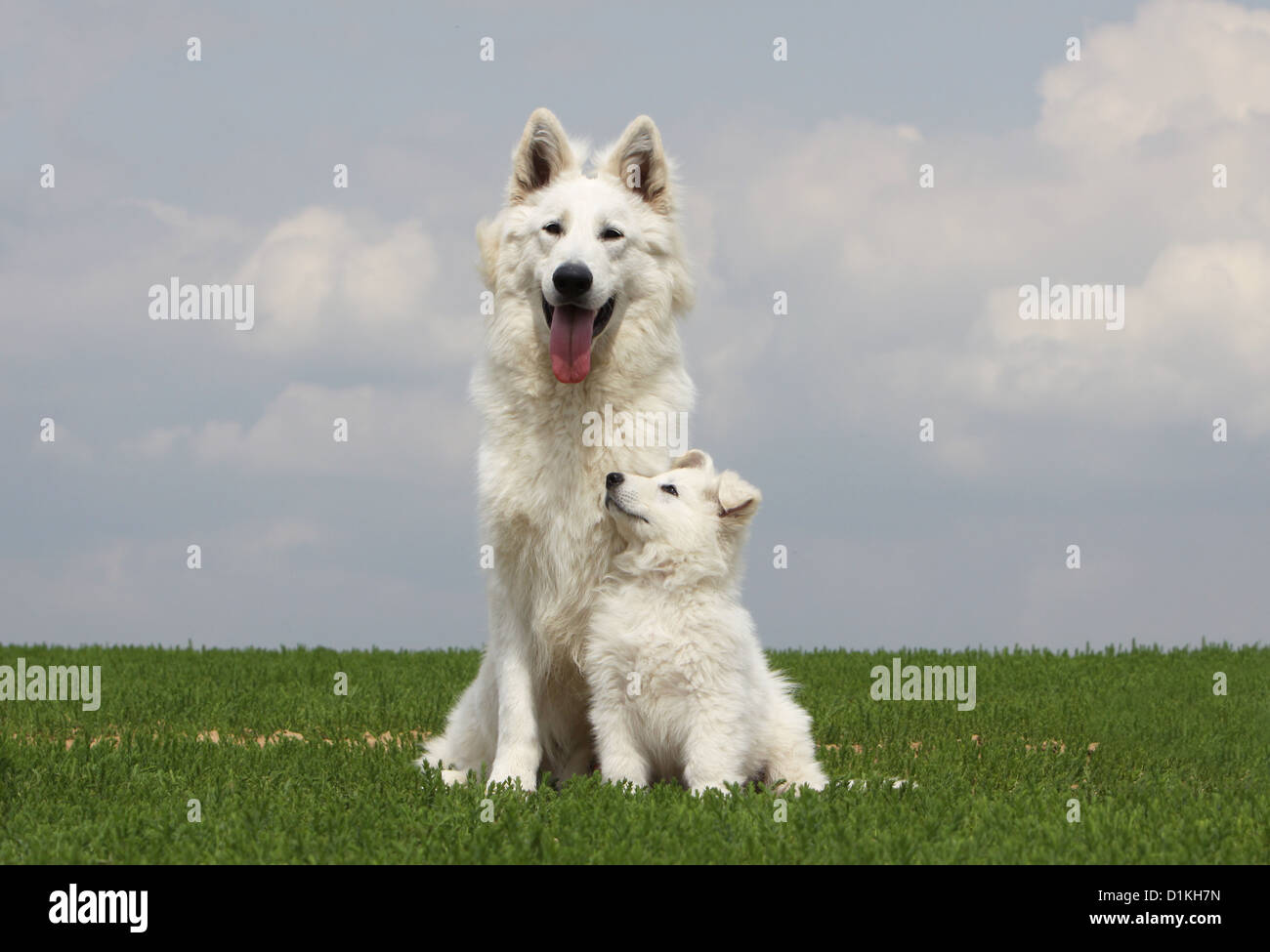White Swiss Shepherd Dog Berger Blanc Suisse Adult And Puppy Stock