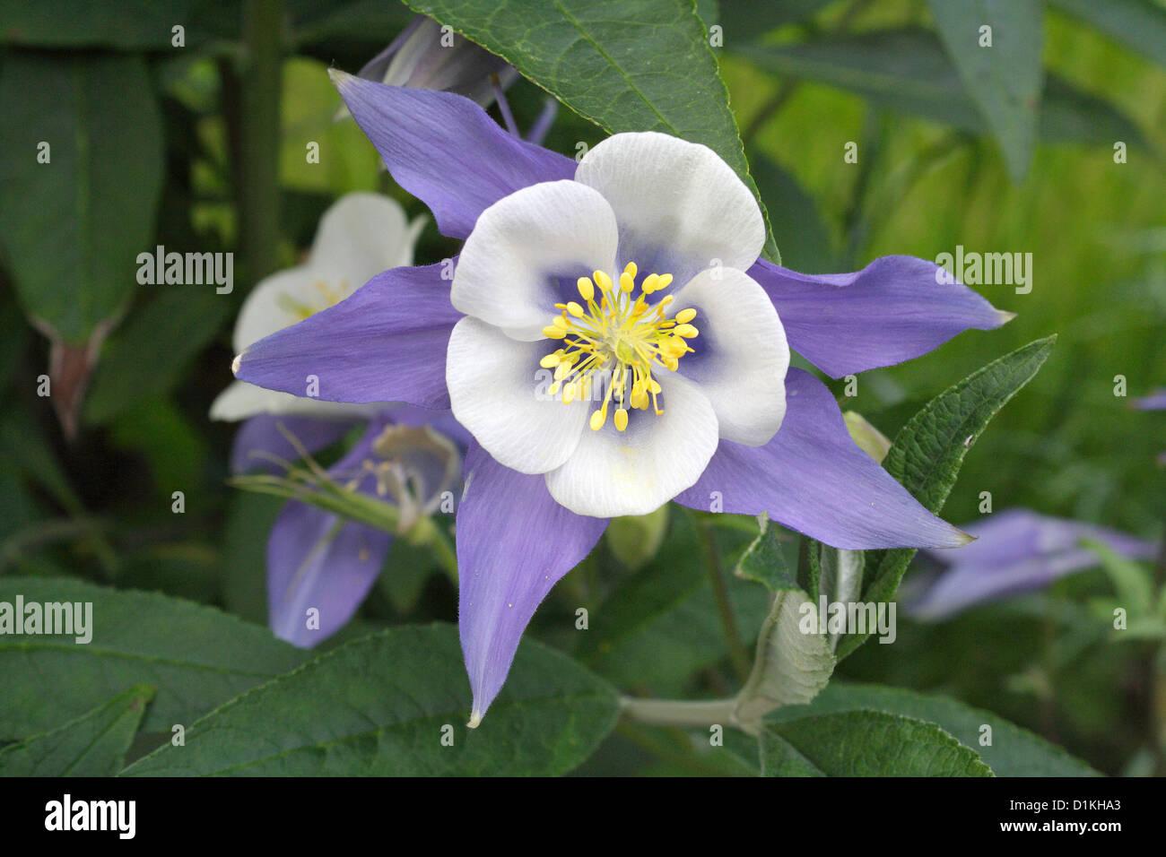 The blue columbine flower stock photo 52676459 alamy the blue columbine flower izmirmasajfo