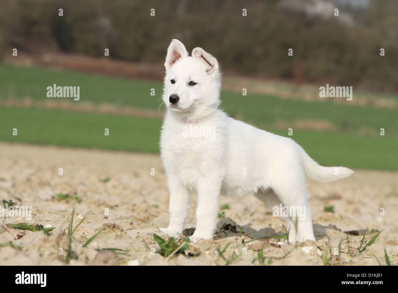 Berger Blanc Suisse Pup Stock Photos Berger Blanc Suisse Pup Stock